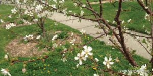 cherry trees suburban farm